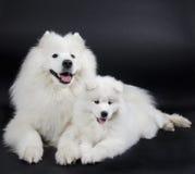dogs samoyed två Royaltyfri Foto