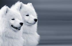 dogs samoyed två Arkivfoton