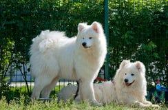 dogs samoyeden Arkivfoto