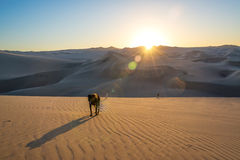 Dogs on Sand Dunes Royalty Free Stock Images