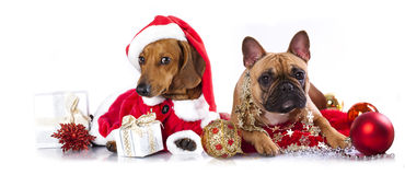 Dogs a santa hat. Dachshund puppy and French Bulldog  wearing a santa hat Stock Photography