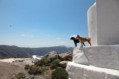 Dogs on Santorini island Royalty Free Stock Photography