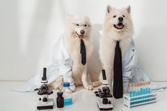 Dogs scientists in lab coats. Dogs scientists lab coats working with microscopes and test tubes in laboratory royalty free stock images