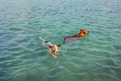 2 dogs in the sea Stock Photos