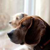 Dogs with Separation Anxiety. Two dogs with separation anxiety looking out the window and eagerly await the return of their owners.  Shallow depth of field Royalty Free Stock Photo