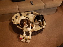 Dogs sharing bed royalty free stock photography