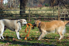 Dogs sharing toy Royalty Free Stock Images