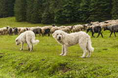Dogs and sheep. Dogs with a flock of sheep Stock Images