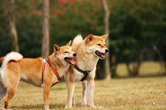 The dogs of Shiba. These are two Shiba dogs Royalty Free Stock Image