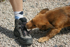 Dogs shoe Royalty Free Stock Images