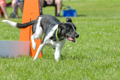 Dogs show. July 2015, - Selkirk town, MB, Canada - Dogs of different breeds participated in the competition jumping over hurdles Royalty Free Stock Image