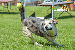 Dogs show. July 2015, - Selkirk town, MB, Canada - Dogs of different breeds participated in the competition jumping over hurdles Royalty Free Stock Photo