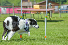 Dogs show. July 2015, - Selkirk town, MB, Canada - Dogs of different breeds participated in the competition jumping over hurdles Stock Photography