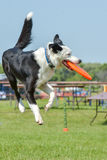 Dogs show. July 2015, - Selkirk town, MB, Canada - Dogs of different breeds participated in the competition jumping over hurdles Stock Photo