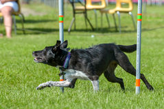 Dogs show. July 2015, - Selkirk town, MB, Canada - Dogs of different breeds participated in the competition jumping over hurdles Royalty Free Stock Images