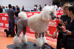 Dogs show in Vic Royalty Free Stock Photo
