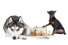 Dogs (Siberian Husky and Miniature Pinscher) Royalty Free Stock Image