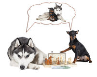 Dogs (Siberian Husky and Miniature Pinscher). Playing chess royalty free stock images