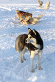 Dogs siberian husky on snow Royalty Free Stock Photography