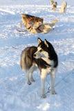 Dogs siberian husky on snow Royalty Free Stock Photography