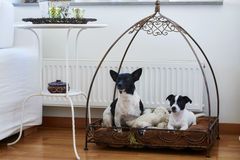 2 dogs sit on thier place at home Royalty Free Stock Image