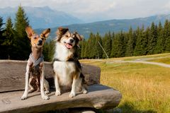 Dogs are sitting on a bench. In the middle of the mountain, happy dogs Stock Images