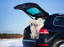 Dogs sitting in a car trunk Royalty Free Stock Images