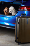 Dogs sitting in car trunk Royalty Free Stock Photo