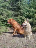 Dogs sitting in forest. Dogs sitting in grass in forest Royalty Free Stock Photo