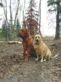Dogs sitting in forest. Dogs sitting on trail in forest Royalty Free Stock Image