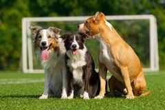 Dogs are sitting on the green grass on the background of a football goal stock image