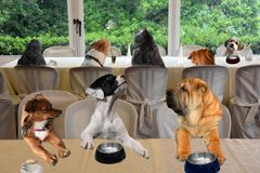 Dogs sitting in restaurant, enjoying their meal