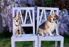 2 dogs sitting /standing on wooden chairs outdoors. 2 dog pals share some outdoor relaxation time by wisteria vines Royalty Free Stock Images