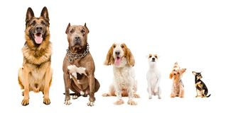 Dogs sitting together. Isolated on white background royalty free stock photos