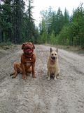 Dogs sitting on trail. In forest Royalty Free Stock Images