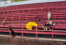 Dogs sitting and waiting at the stadium owners Royalty Free Stock Photo