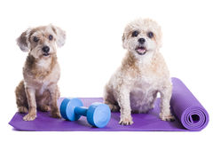 Dogs sitting on a yoga mat, preparing for excercise. Dogs sitting on a yoga mat, concentrating for excercise and listening to a trainer Stock Photo