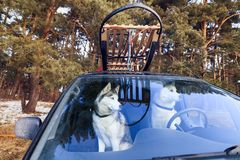 Dogs sled in the car. View through glass Stock Photos