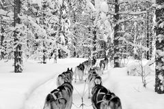Dogs sledding with huskies in a beautiful wintry landscape, Swed Stock Photography