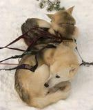 dogs sleden Arkivbilder