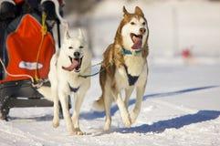 dogs sleden Royaltyfri Bild