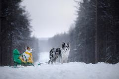 Dogs on sleds. Winter games with a pet in nature. Dogs on sleds. Winter games with a pet in nature outdoors stock image