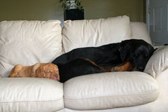 Dogs sleeping on the furniture. Rottweiler and bordeaux puppy napping on the couch Stock Photo
