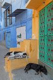 Dogs sleeping in Jodhpur blue streets Royalty Free Stock Photography