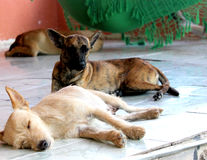 Dogs Sleeping. In one day of sunday Stock Photography