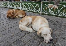 Dogs sleeping on street in Istanbul, Turkey stock photo