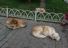 Dogs sleeping on street in Istanbul, Turkey. Dogs sleeping at public park in Istanbul, Turkey royalty free stock image