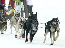 Dogs, sleighs and mushers in Pirena 2012 Royalty Free Stock Image