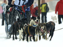Dogs, sleighs and mushers in Pirena 2012 Stock Photo