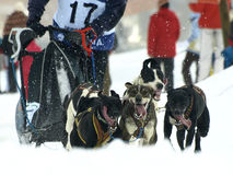 Dogs, sleighs and mushers in Pirena 2012 Stock Photos